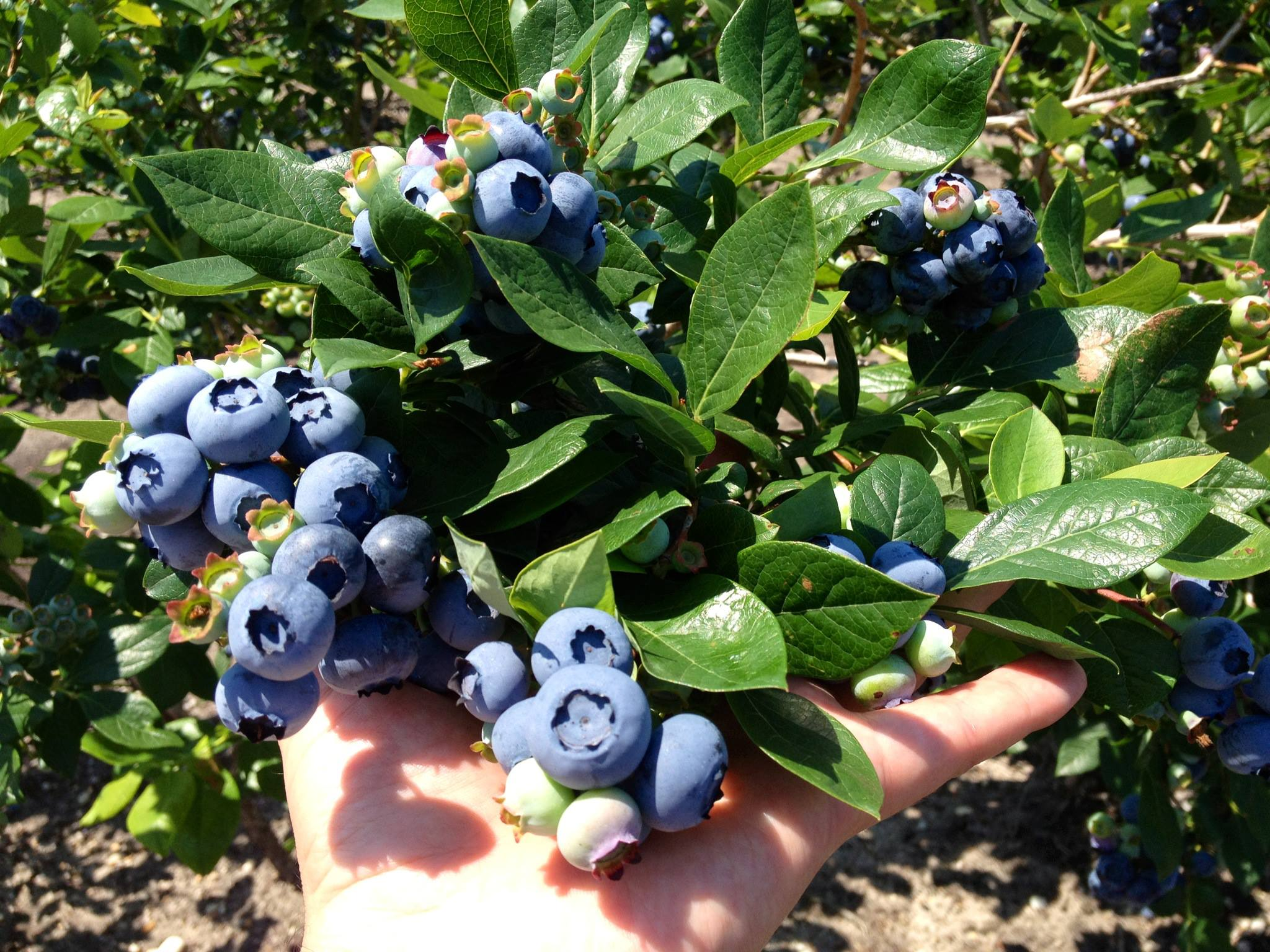 Dimeo Farms Blueberry Plants Nursery Visit Nj Farms